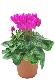 Cíclame de flores rosa em vaso isolado