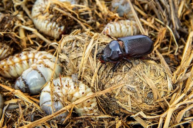 Ciclo de vida do besouro rinoceronte de coco em palha de pilha