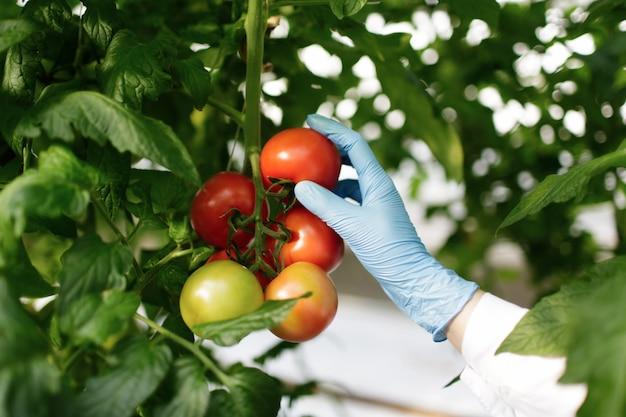 Cientista alimentar mostrando tomates em estufa