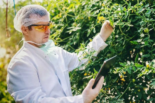 Cientista caucasiano sério no uniforme estéril usando a tabuleta e verificando o crescimento do tomate na casa verde.