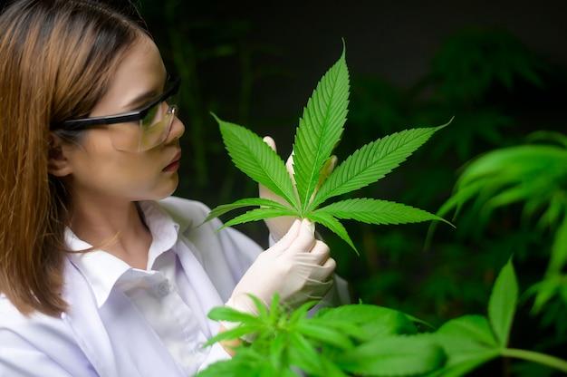 Cientista está verificando e analisando folhas de cannabis para experimento, planta de cânhamo para óleo de cbd farmacêutico à base de plantas em um laboratório