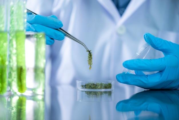 Cientistas estão desenvolvendo pesquisas sobre algas