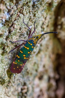 Cigarra ou lanternfly (saiva gemmata)