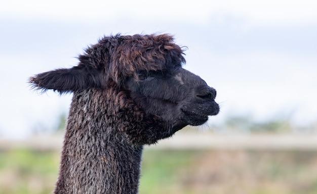 Cima, cabeça, de, pele preta, alpaca, em, fazenda doméstica