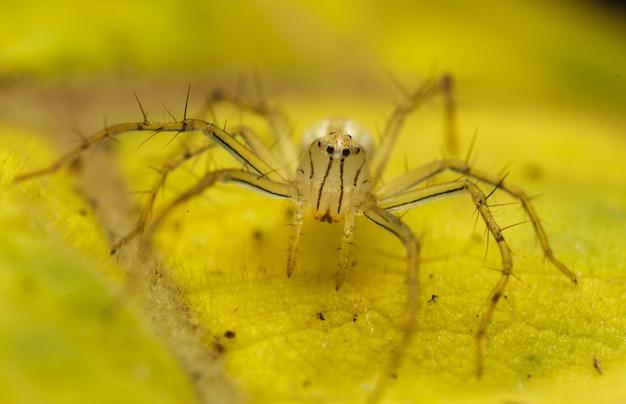 Cima, de, amarela, saltando, aranha, ou, birmanês lynx, aranha, ligado, a, folha amarela