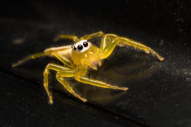 Cima, de, amarela, saltando, aranha, ou, telamonia aranha, ligado, pretas, carro, telhado