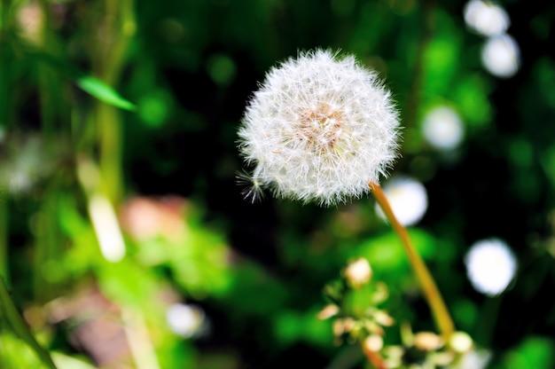 Cima, de, dandelions, parque