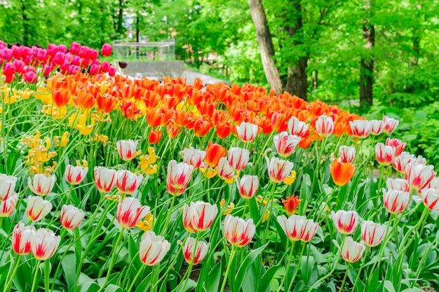 Cima, de, florescer, primavera, tulipa, flores, de, cor-de-rosa