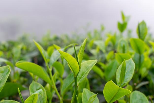 Cima, de, folhas chá