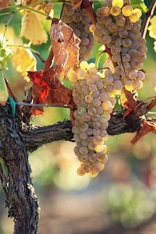 Cima, de, uvas brancas, ligado, a, vinhedo