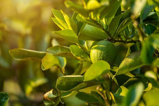 Cima, de, verde, limões, crescer, ligado, a, árvore limão