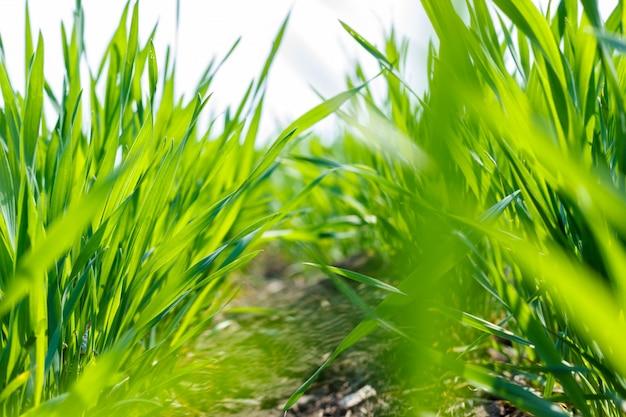 Cima, jovem, trigo, brotos, crescendo, em, a, campo