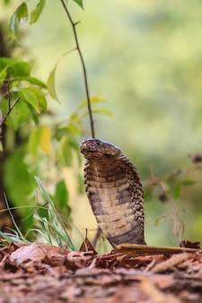 Cima, monocellate, cobra