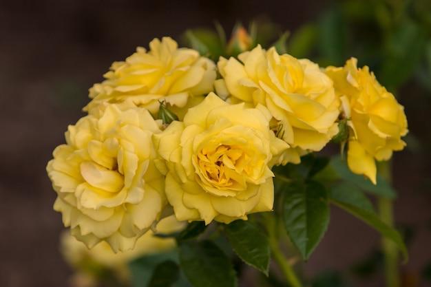 Cinco botões de flores rosas amarelas em arbusto