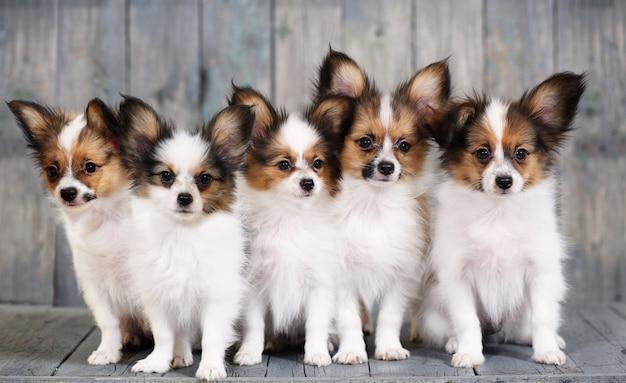 Cinco cachorrinho