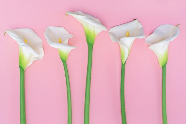 Cinco calla brancos flores lilly na parede rosa.