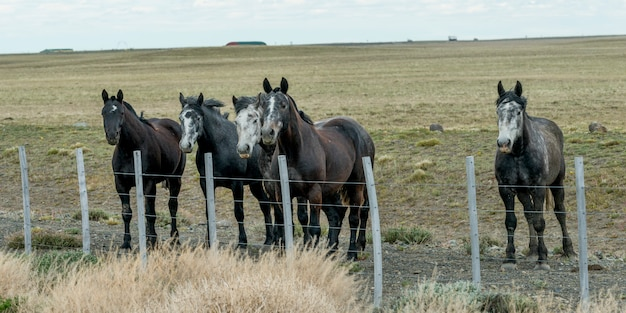Cinco cavalos, ficar, perto, cerca, em, campo, santa cruz, província, patagonia, argentina