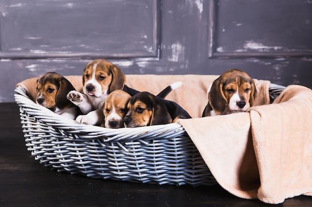 Cinco filhotes de cachorro beagle sentar na cesta