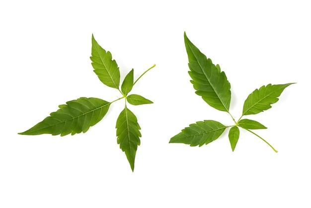 Cinco folhas de árvore casta ou folha verde de ramo de vitex negundo isolada na vista de background.top branco, plana leigos.