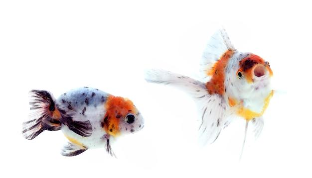 Cinco peixes dourados coloridos em um tanque de peixes.