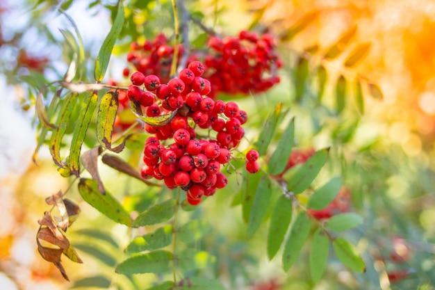 Cinza de montanha vermelha em um ramo.