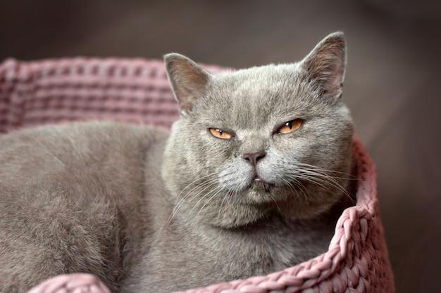 Cinzento gato escocês com sono com olhos amarelos encontra-se em uma cama de gato rosa