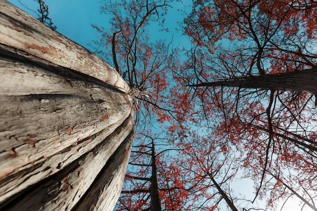 Ciprestes no outono com folhas vermelhas contra o céu azul com raios de sol