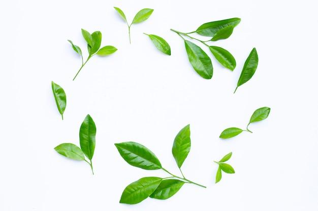 Círculo de folhas cítricas em um fundo branco.