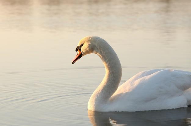 Cisne ao amanhecer