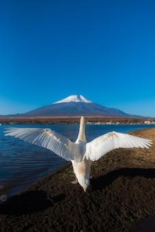 Cisne branca muito bonita na ação fluttying das asas no lago yamanaka com mt. fundo fuji, famo