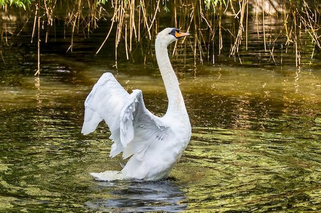 Cisne branco com asas abertas na lagoa_