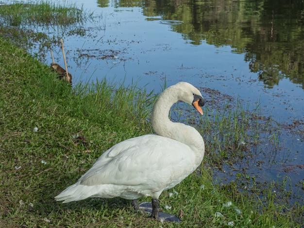 Cisne branco com fundo de floresta