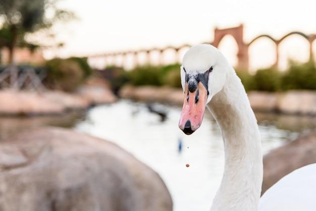 Cisne branco em um pôr do sol em um parque em valência, espanha