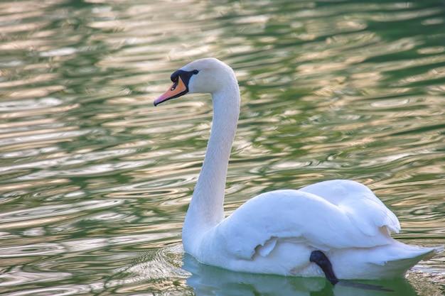 Cisne branco flutuando gracioso no lago