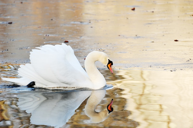Cisne branco nada na lagoa de outono