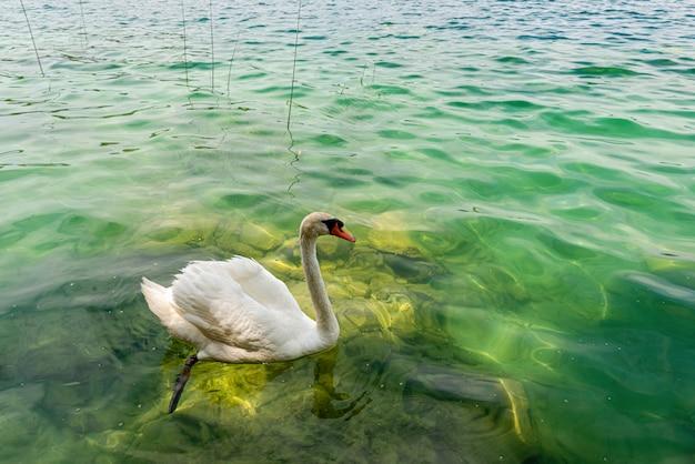Cisne branco nadando em um lago, no parque nacional krka, dalmácia, croácia