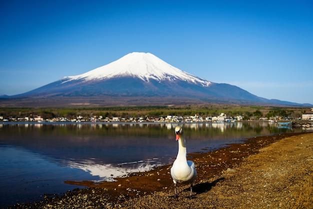 Cisne branco no lago yamanaka com mt fuji, yamanashi, japão