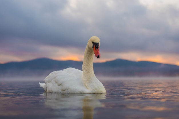 Cisne branco no lago yamanaka com o monte. fundo fuji