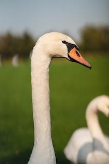 Cisne branco no prado