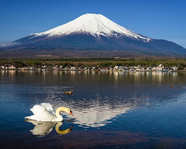 Cisne branco procura comida com monte fuji