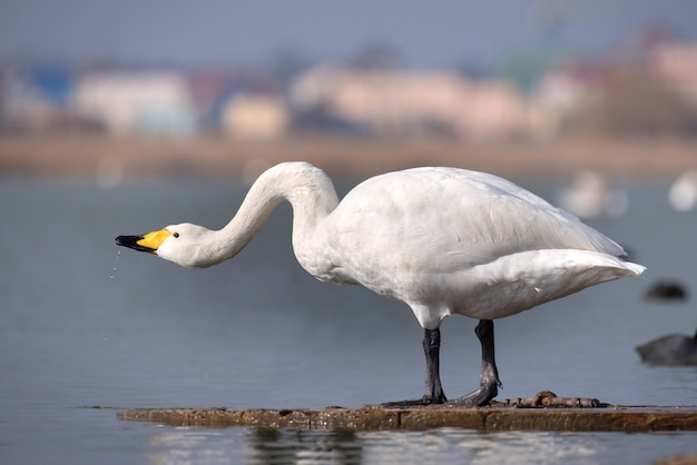 Cisne-bravo (cygnus cygnus)