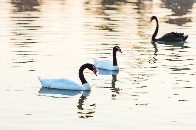 Cisne de pescoço preto ou cygnus melancoryphus, também conhecido como cisne de pescoço preto