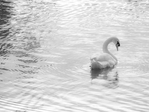 Cisne de retrato preto e branco no lago