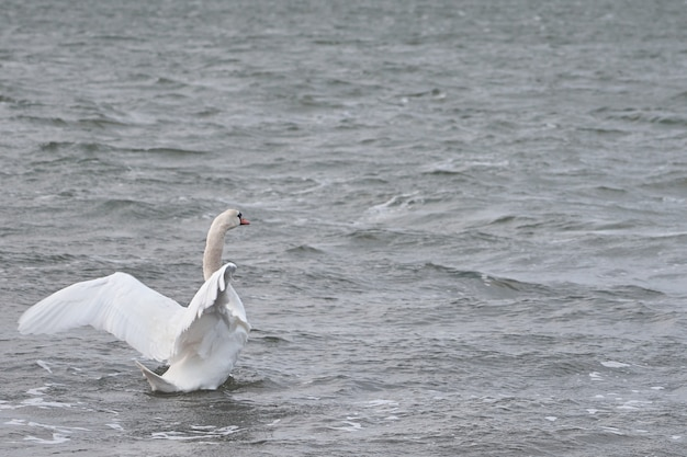 Cisne em uma superfície ondulante de água do mar tempestuosa