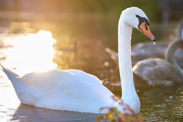 Cisne lindo branco nadando na água do lago no verão.