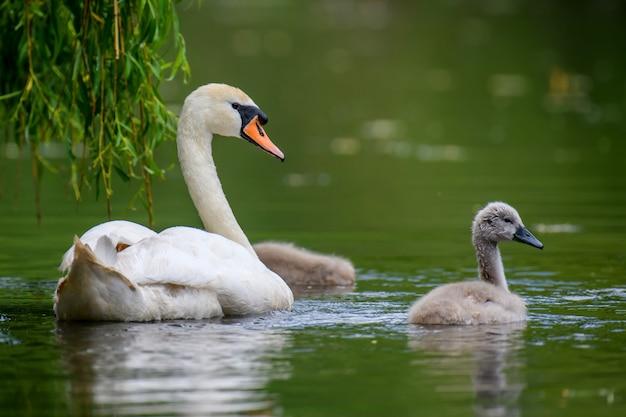 Cisne mudo cygnus olor com bebê