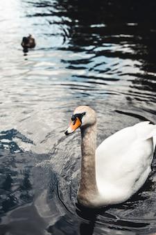Cisne mudo e patos ao fundo. tirada em prater, viena. o lago costumava ser um billabong do rio danúbio.