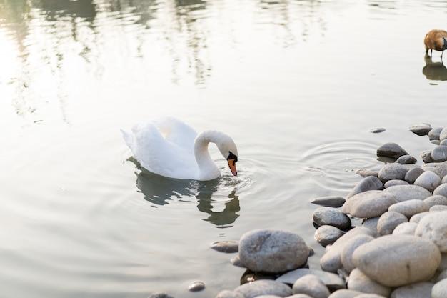 Cisne nada na lagoa