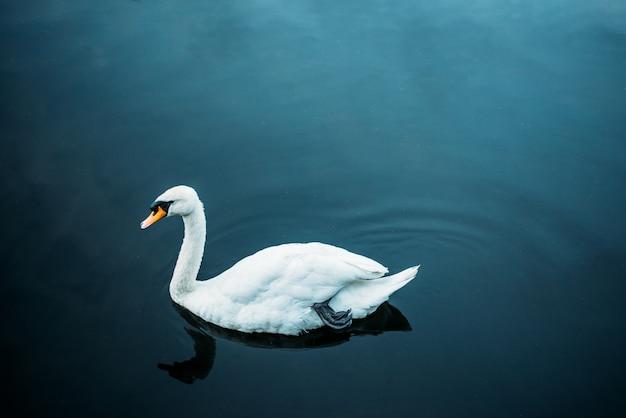 Cisne nadando em uma lagoa