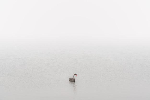Cisne negro em fumaça de incêndio florestal st helens, tasmânia